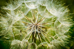 Make a Wish (denise51168) Tags: flower weed nature dandelion nikond5300 wisconsin photo