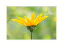 Rough Oxeye ( Heliopsis helianthoides ) (The Visioneer) Tags: roughoxeye heliopsishelianthoides smoothoxeye falsesunflower yellow flower plant nature shine bokehs closeup golden sunshine