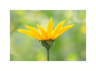 Rough Oxeye ( Heliopsis helianthoides )