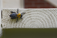 Bee On Board (Modkuse) Tags: bee insect wood board abstract fujifilm fujifilmxt2 xt2 xf35mmf2rwr fujifilmxt2provia photoart photoflat