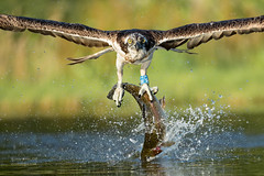 Osprey (Louise Morris (looloobey)) Tags: a34i3537 osprey scotland fishing fish early july2018 hide rothiemurchus aviemore pond lochan fishery cropped