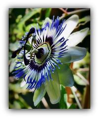 Passiflora (SnežanaQ) Tags: flower exotic passifloracaerulea bluepassionflower climber plant garden summer outdoor macro