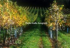 paologallosc050721 (BXIJNGOHAZD6GRPENLFTO7OOQ5) Tags: vigneto autunno vigna vigneti filare stagione viticoltura agricoltura paesaggio filari