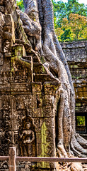 Giant Roots and Bas Relief Sculpture at Ta Prohm Temple, Cambodia-12a (Yasu Torigoe) Tags: sony a99ii a99m2 sonyilca99m2 siemreap siem reap angkor archeological archeology park history ancient architecture temple religion religious buddhism buddhist buddha historical ta prohm taprohm jungle trees tree tombraider banyan tomb crypt laracroft lara croft suryavarman vishnu stonework buildings surreal sculpture structure deityroots landscape overgrown vines art theravada photograph photography dynamic travel asia cambodia southeast deity ruins khmer roots devatas