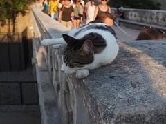 Dubrovnik (schroettner) Tags: croatia kroatien dubrovnik catsofdubrovnik catsofcroatia croatiancats katze