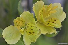 lys Jaune (Jourdheuil Clément) Tags: lysjaune flowers fleurs bokeh flou nikon nikon105mm étaminejaune pistil fragile offemont clémentjourdheuil france familledesliliaceæ nature fleur jaune
