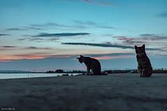 Eravamo due amici al bar (Davide Ibiza) Tags: giliaquas xe3 fujixe3 fujinonxc1545mm gatti davidebaraldi fujifilm cielo tramonto fotografando azzurro inspiration fuji fujifilmxe3 stagno occhialiverdi 1545fuji lightroom sardegna italia it