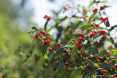 Bright red ripe berries honeysuckle (Dmitriy'Os'Ivanov) Tags: pentaxk5 pentaxda55mmf14 summer honeysuckle woodbine redberries bokeh beauty ripe волчьиягоды жимолость ягоды depthoffield amazing seasonality scarlet shrubs bush foliage flora