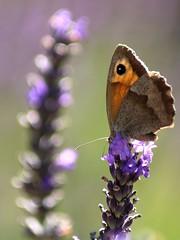 papillon (Thierry.A) Tags: papilon lavande jardin