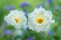 rose 3339 (junjiaoyama) Tags: japan flower rose plant summer white bokeh macro