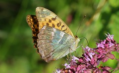 Silver-washed Fritillary -Argynnis paphia -Martin Down NNR Hampshire 020818(1) (ailognom2005) Tags: silverwashedfritillary argynnispaphia martindownnnr hampshire butterflies butterfliesmothsandcaterpillars insects britishwildlife britishinsects macro nationalnaturereserve