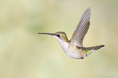 Hummingbird in flight (adbecks) Tags: hummingbird flight sb 28 nikon 300 pf f4 14 tc backyard birds