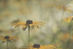 lumière diffuse (christophe.laigle) Tags: christophelaigle fleur macro nature flower fuji sunny yellow xpro2 xf60mm jaune rudbeckia