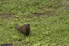 41745 Javan Mongoose (Herpestes javanicus) in Kui Buri National Park, Thailand. IUCN=Least Concern. (K Fletcher & D Baylis) Tags: animal fauna wildlife mammal carnivora carnivore herpestidae mongoose javanmongoose leastconcern kuiburi nationalpark thailand tenasserim asia august2018