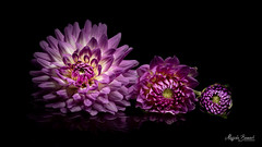 Three dahlias (Magda Banach) Tags: canon canon80d sigma150mmf28apomacrodghsm blackbackground bud colors dahlia flora flower lato lilac macro nature plants