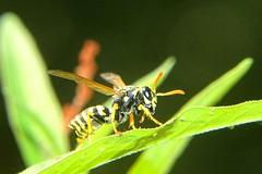Feldwespe (Veit Schagow) Tags: feldwespe wasp wespe insect faltenwespe blatt insekt