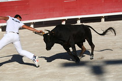 Arles, Bulls (chris_pook) Tags: boy horns man bull athletics countrysports bullfighting camargue france arles bullrun