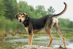 Picture of the Day (Keshet Kennels & Rescue) Tags: rescue kennel kennels adoption dog ottawa ontario canada keshet large breed dogs animal animals pet pets field tree forest nature photography marshland water posing handsome