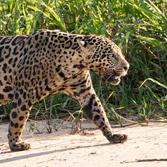 Jaguar (Marley) (nealhardwick) Tags: jaguar matogrossodosul brazil br