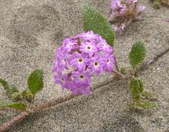 pink sand verbena (randomtruth) Tags: sanmateocounty california