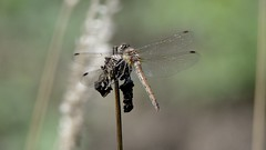 NEW7630 (davefieldson) Tags: dragonfly outside outdoor wildlife nature
