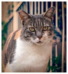 Cat (Pepenera) Tags: cat cats gatto gato gatti felino