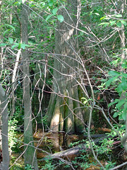 Tree Growing Out Of Swamp Water. (dccradio) Tags: lumberton nc northcarolina robesoncounty outdoor outdoors outside nature natural jacobswamp lutherbrittpark park citypark swampland woods wooded forest tree trees greenery foliage june sunday afternoon summer summertime stick sticks leaf leaves water swampwater bodyofwater branch branches treelimbs treelimb landscape scenic beauty pretty sony cybershot dscw830
