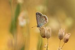 calda sera (@5imonapol) Tags: butterfly sunset bug animal life macro bokeh wild