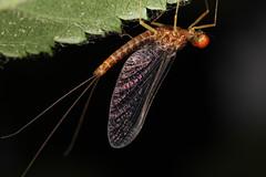 Serratella ignita mâle (chug14) Tags: macro insecte unlimitedphotos animalia arthropoda hexapoda insecta ephemeroptera ephemerellidae ephemeraignita ephemerellaignita serratellaignita