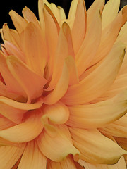 The Orange Dahlia (Steve Taylor (Photography)) Tags: orange dahlia digitalart black newzealand nz southisland canterbury christchurch northnewbrighton flower petals outline