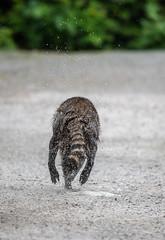 Run Like The Wind! (TNWA Photography (Debbie Tubridy)) Tags: raccoon running wet getaway behavior activity dripping nature wildlife spring animal mammal park britishcolumbia canada northamerica natural habitat environment chase wild outdoors debbietubridy tnwaphotography