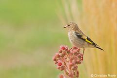 2015.08.01 - 2497 - Chardonneret élégant Bois Bas © (chmeyer51) Tags: oiseau chardonneretélégant fringillidae cardueliscarduelis