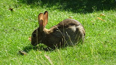 Glowing ears (Mado46) Tags: bxl06 mado46 kaninchen rabbit wiese meadow transparent lucid translucent