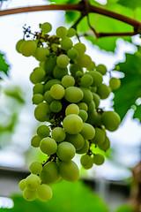 Longwood_183-2 (Lance Rogers) Tags: camera food grapes kennettsquare pa longwoodgardens nikond500 pennsylvania people places lancerogersphotoscom ©lancerogers