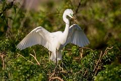 Great Egret (Linda Martin Photography) Tags: gatorland ardeaalba greategret us rookery orangecounty florida coth alittlebeauty specanimal coth5 ngc npc