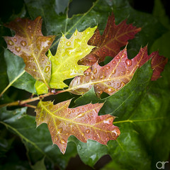 Autumn is Near (A.Reef (mostly off)) Tags: closeup leaves rain drops autumn fall fresh