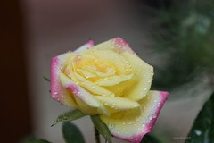 Yellow Rose with a Touch of Pink (Anton Shomali - Thank you for over 1 million views) Tags: yellow rose with touch pink yellowrosewithatouchofpink flower flowers roses water rain raindrops wet season summer