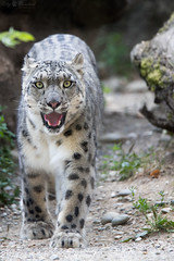 Snow leopard walking into my direktion (Cloudtail the Snow Leopard) Tags: schneeleopard tier animal mammal säugetier katze cat feline irbis snow leopard big gros raub beutegreifer panthera uncia snep zoo basel