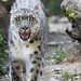 Snow leopard walking into my direktion
