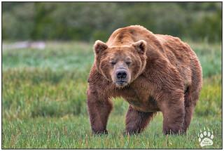 Alaskan Brown Bear 062318-9584-W.jpg