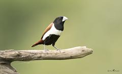 Tricolored Munia (arunprasad.shots) Tags: ngc explore munia grassland bokeh perch green birding nikon prime