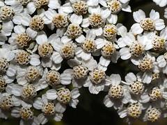 Flors de muntanya