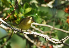 Willow Warbler..x (Lisa@Lethen) Tags: willow warbler holy tree light shadow sunlight branch wildlife nature bird