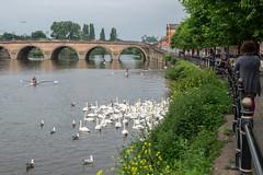 Worcester swans (Spannarama) Tags: uk river riversevern swans bridge railings people canoes worcester