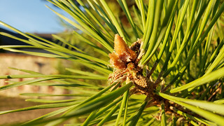 Pine Branch Tip End