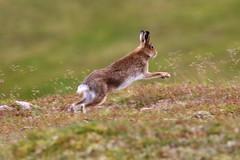 Mountain Hare - Scottish Highlands (Ally.Kemp) Tags: mountain hare hares scottish scotland glen glenshee highlands aberdeenshire running summer colours coat wildlife wild lepus timidus