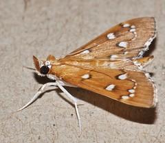White spotty chain moth Cotachena sp Spilomelinae Crambidae Airlie Beach rainforest P1040943 (Steve & Alison1) Tags: white spotty chain moth airlie beach rainforest cotachena sp spilomelinae crambidae