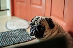 puglife (santi.gual) Tags: pug pugs dog animal pet cute puglife yongnuo35mmf2n d5000 dof