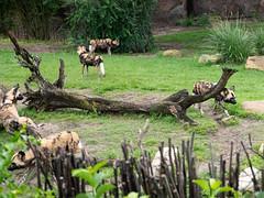 1608 Disney's Animal Kingdom51 (nooccar) Tags: 1806 animalkingdom devonadams devoncadams devonchristopheradams disney disneyworld disneysanimalkingdom june june2018 devoncadamscom devoncadamsgmailcom
