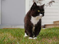 A little more active spying (vanstaffs) Tags: tussi tuzz tuxedocat t tux tusse tutu tuzz® myprettyliltuxedogirl